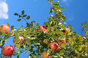 矢板のりんご01.jpg
